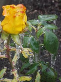 trandafir de gheata
