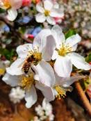 Albinele muncesc de zor.jpg