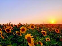 lan de floarea-soarelui, amurg.jpg